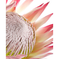 Canvas Print - Protea Close Up Bright - 80x100