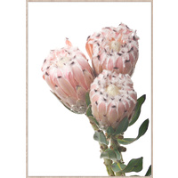 Premium Edition -Dusty Pink Protea's - 68 x 95