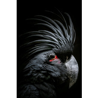 Canvas Print - Wise Old Cockatoo - 40x60 (MIN 2)