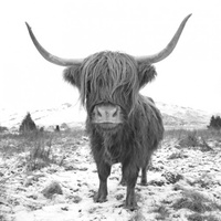 Canvas Print - Bovine - Highland Mono - 60x60